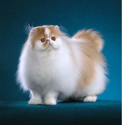 persian-cat-proud-showcat