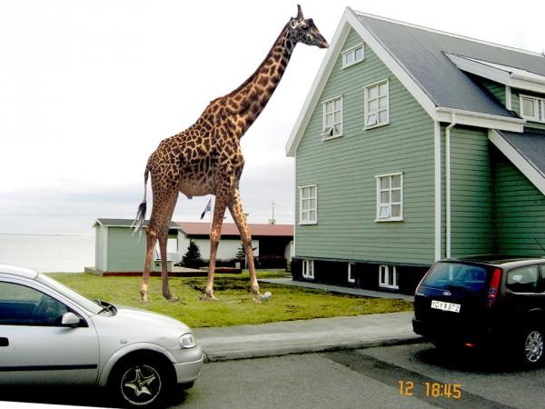 giraffi